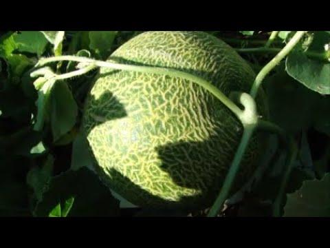 Как защищаю арбузы