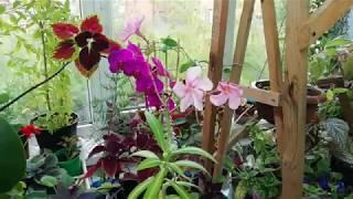 Кубинский олеандр рекордсмен по цветению