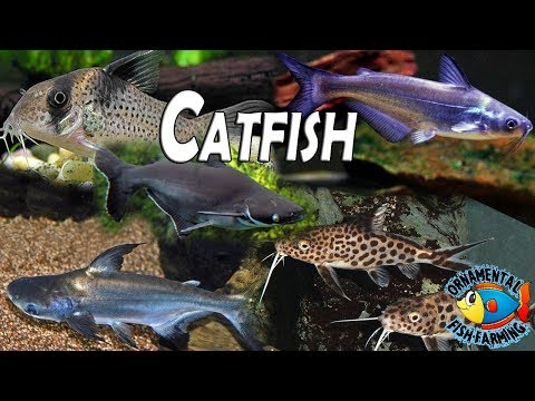 All The Varieties Of Freshwater Catfish Is Shown In This Video Tropical Aquarium Fish