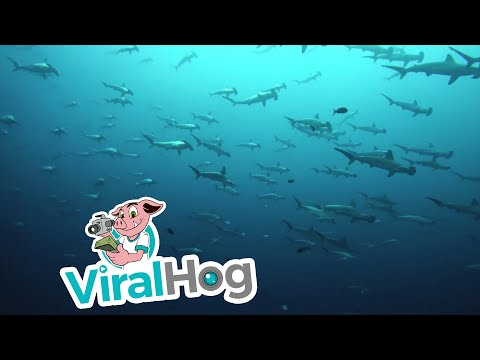 Bob Hauer - Huge School of Hammerhead Sharks