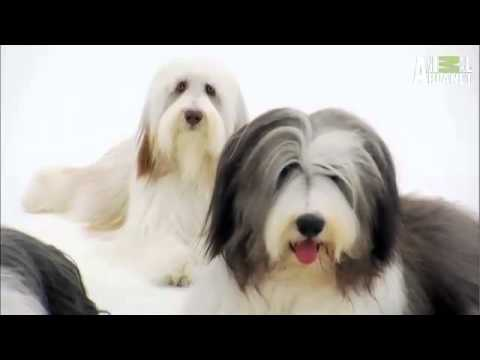 Bearded Collie - Dog Breed