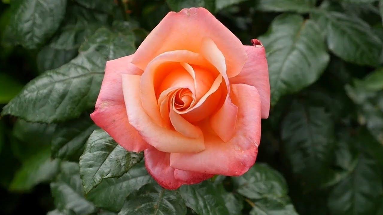Rosa Secca Cosa Fare pianta una rosa in una patata, il risultato ti sorprenderà