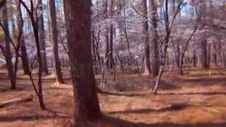 説明 富士山の裾野に広がる樹林帯 その中に群生している富士桜の花が満...