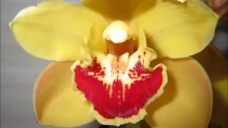 2018 A flower bud of Cymbidium シンビジュームの新芽の成長