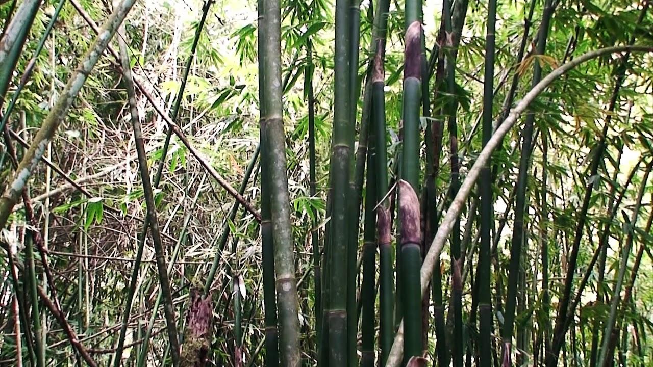 1000000642 Hn06636 001 Mp Bambuswald Footage 1 Bambus Wald Baume