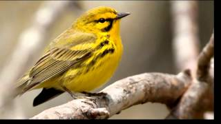 Bringing Back the Birds: Prairie Warbler and Blue-winged Warbler