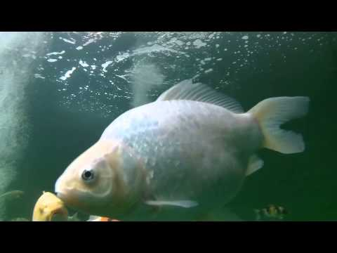 Drift Ghost -s in its underwater case tested in koi pond (Fish eye view)