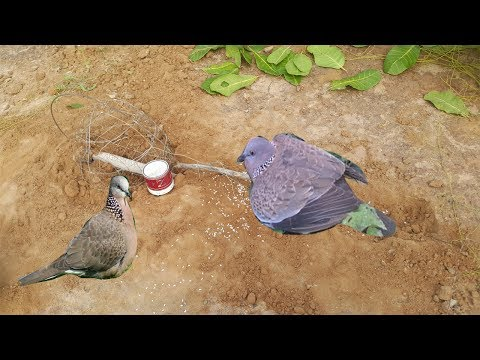 The Best Bird Trap-Awesome Quick Bive Usrd Trap Caught Wild Doing Traditional Trap That Work 100%