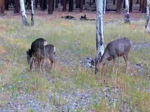 Grand Canyon wildlife - Mule deer & Kaibab squirrel.WMV