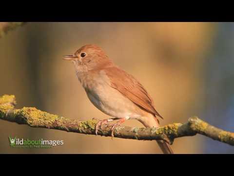 Nightingale  ( Luscinia megarhynchos )