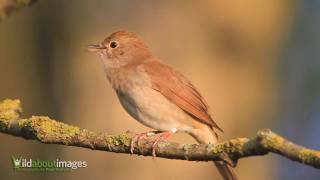 Download Nightingale  ( Luscinia megarhynchos )
