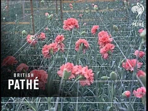 Carnation Farm (1966)