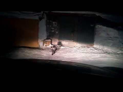 По Прокопьевску бегает черная лисица
