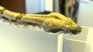 Ghost Motley Boa Constrictor
