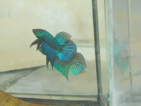 On sell now. Original Wild Betta Mahachaiensis . If you're interested, please pm