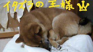 イタズラ王 アズ&コタ柴犬ファミリーの日常 やりすぎ!!!イタズラくん 検索動画 30