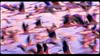 The Crimson Wing - Il misterioso mondo dei fenicotteri rosa (trailer ufficiale)