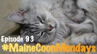 #MaineCoonMondays - Episode 93