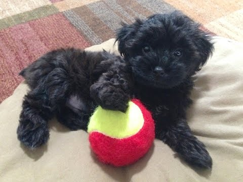 yorkie poo black yorkie poos for sale ocala florida michelines pups youtube 7315