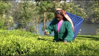 Как собирают чай(, 2014-10-15T12:35:36.000Z)