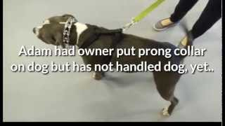 Reno, NV Dog Training Expert Immediately Stops Aggressive Pit Bull Barking