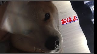 柴犬ハナ こういう朝もたまにはいいもんです -- Shiba wakes up in the morning.--