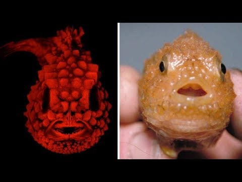 Pacific Spiny Lumpsucker Looks Different Under Fluorescence