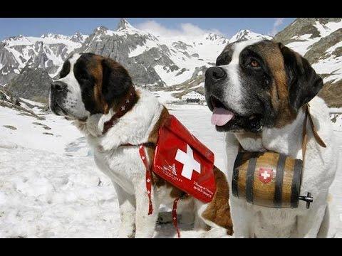 Dog Like Saint Bernard