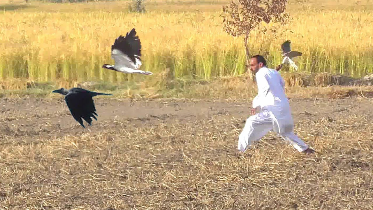 Incredible Hunt of sparrowhawk And goshawk    Eagle hunt, hawk hunting    Wildlife Today