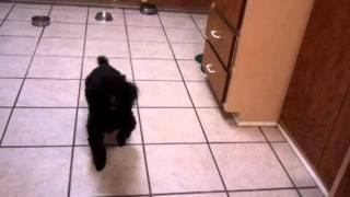 Maxx The Ocd Poodle