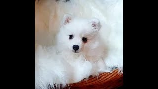 Bringing home our Japanese Spitz puppy!