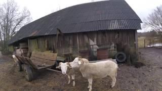 Еще раз об овцах. Овцы породы Уилтшир Хорн.// Жизнь в деревне.