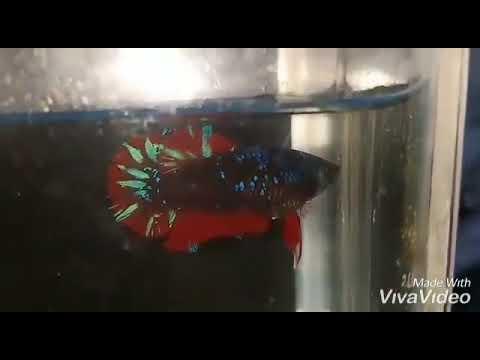 Ikan cupang hias - YouTube