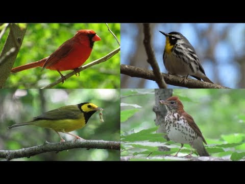 Summer Birds of Eastern Woodlands of North America