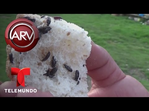 Recomiendan comer gorgojos vivos para sanar enfermedades | Al Rojo Vivo | Telemundo