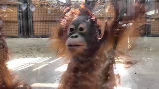 Baby Orangutan LOKI 13 - 1 year 5 months old, playing with Ceria indoor
