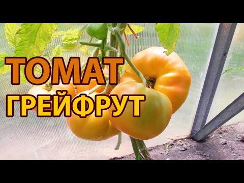 Томат Грейпфрут! Полный обзор сорта