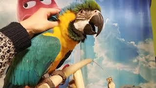 Попугай ара и качеля