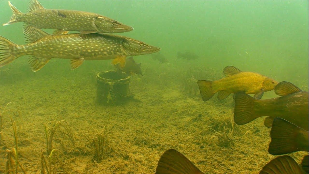 Подводная  охота'Щуки и караси в  чистой  воде'