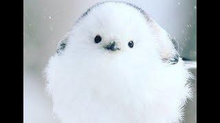 Shima-Enaga - Japanese Exclusive Bird Compilation