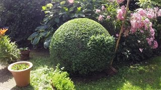 60 sec box ball trim (Buxus Sempervirens)