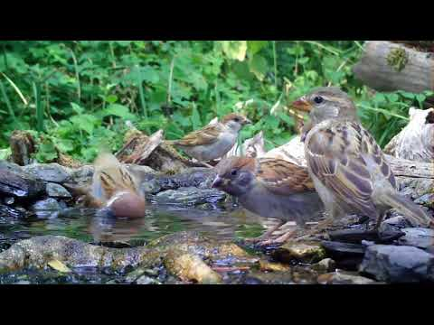 Feldsperlinge und Haussperlinge baden