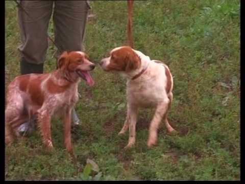 The Brittany Spaniel - Pet Dog Documentary English