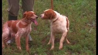 The Brittany Spaniel  Pet Dog Documentary English