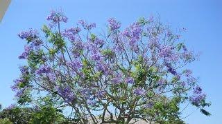 Jacaranda mimosifolia purple beauty