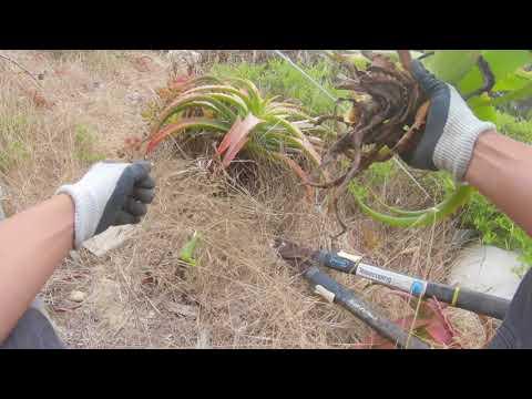 How I grew 100 Aloe Vera Plants from 1 Aloe Vera Plant! [My Aloe Farm]