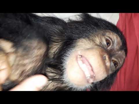 Orphaned Chimp Tita's First Laugh