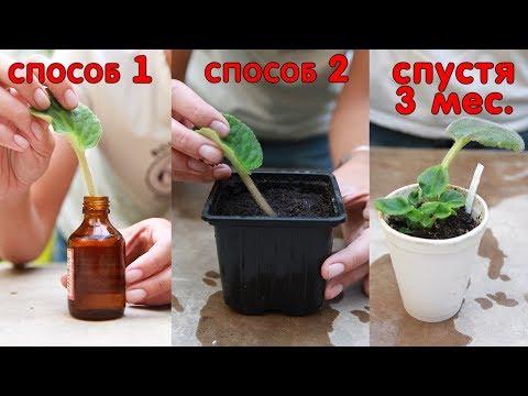 Размножение фиалки (сенполии) листом. Два способа укоренения фиалки 🌱 Популярная ботаника