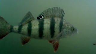Рыбалка на щуку, но ловим хитрого окуня, подводные съемки(На данной рыбалке мы постарались поймать щуку, но ловля окуня и наблюдением за ним под водой очаровывают..., 2015-02-18T16:11:01.000Z)
