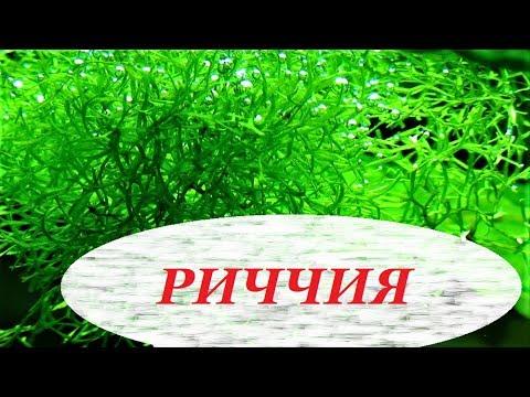 Риччия плавающая в аквариуме, как прикрепить на дне, камне, содержание, размножение, амано.